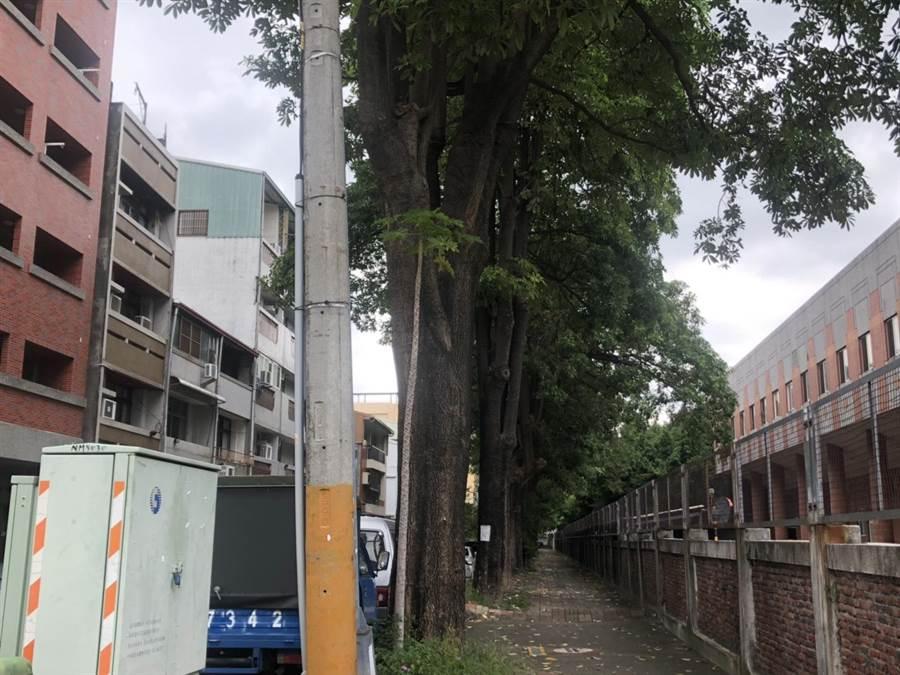 黑板樹因樹根隆起,不僅造成人行道地面凸起,更導致多名長者跌倒受傷,花開味刺鼻,經建設局評估,黑板樹移植及補種工作,最快7月底完成。(張妍溱攝)