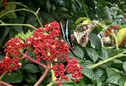 埔里鎮鯉魚潭蝴蝶復育有成 再添4種新蝶類