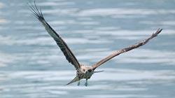 基隆市鳥黑鳶 繁殖率破紀錄