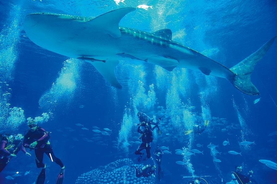 潛水愛好者在廣東珠海長隆海洋王國鯨鯊館成為首批體驗「與鯨鯊同游」潛水項目的幸運兒。(新華社)