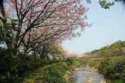 定格櫻花、農村美景!三芝三和社區攝影比賽徵件中