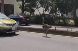 誰家鴕鳥漫步大馬路?網友搶當飼主