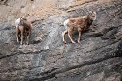 根本攀岩高手!山羊險境爬崖網驚呆