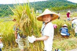 友善耕作 鯉魚社區稻米收割