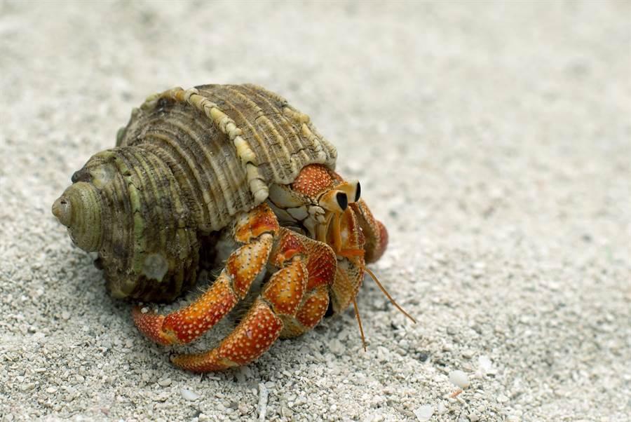 網友分享,弟弟頭七時,一隻寄居蟹從他的冰櫃爬出來。(達志影像/shutterstock提供)