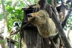「穿山甲館」上演爭奪戰!頑皮絹猴愛搶樹獺美食