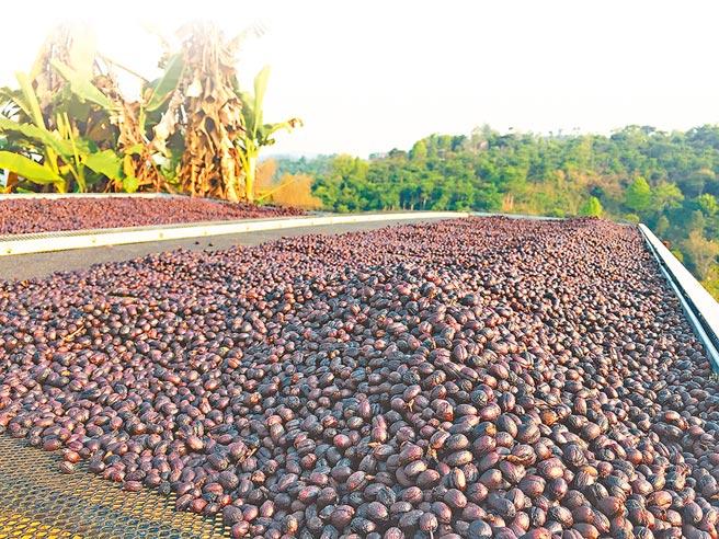 咖啡苗非常適應雲南的土壤、氣候.普洱市的咖啡種植面積為80萬畝,面積和產量均居雲南之首。圖為正在晾曬的咖啡豆。