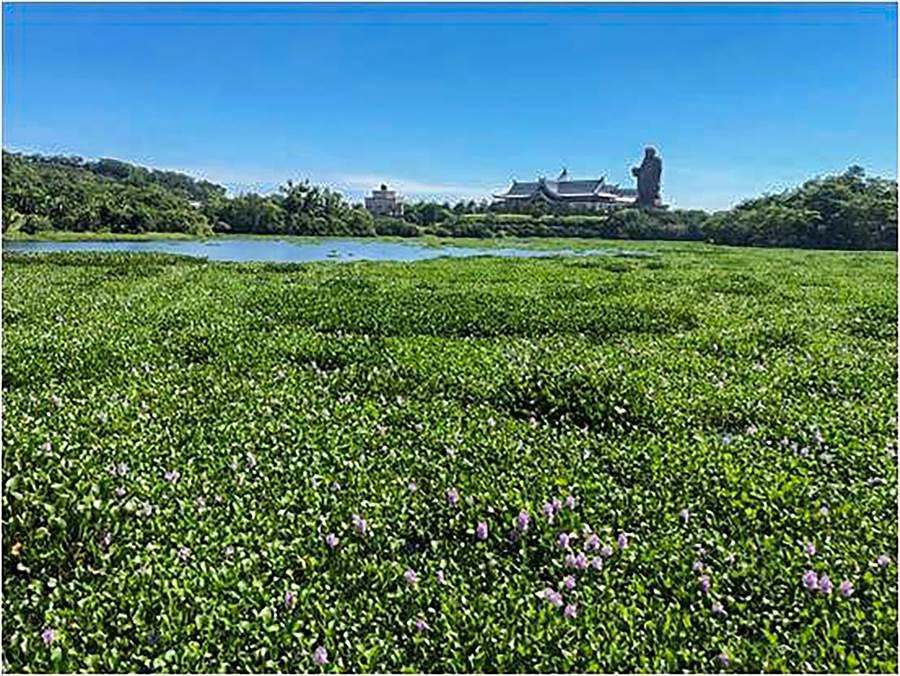 峨眉湖布袋蓮危害動植物生態,也波及鄉公所推出的遊湖行程。(羅浚濱攝)