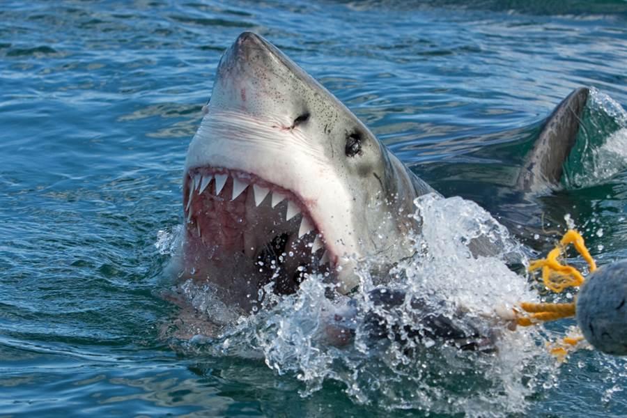 漁民釣到大白鯊 遭拖船纏鬥2小時(示意圖/達志影像)