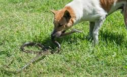 兩犬護主狂咬毒蛇 獲勝下秒倒地亡