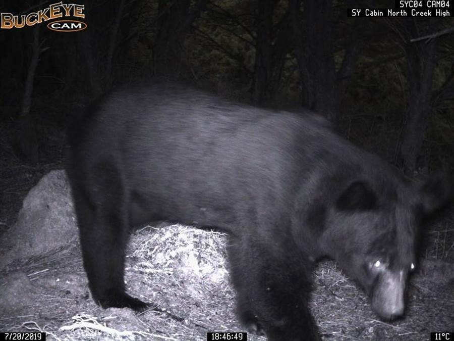 台東林管處在向陽山屋設置黑熊預警系統,攝影機拍到黑熊影像後即時傳回電腦,讓山屋管理員即時因應。(台東林管處提供)