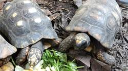 象龜助雨林散播種子?紅腿、黃腿大有玄機