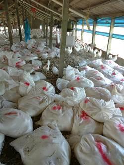 來不及下蛋就染疫 大城鄉撲殺7756隻蛋中雞