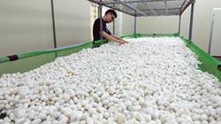 台蠶生技傳承養蠶經驗 開拓嶄新技術里程碑