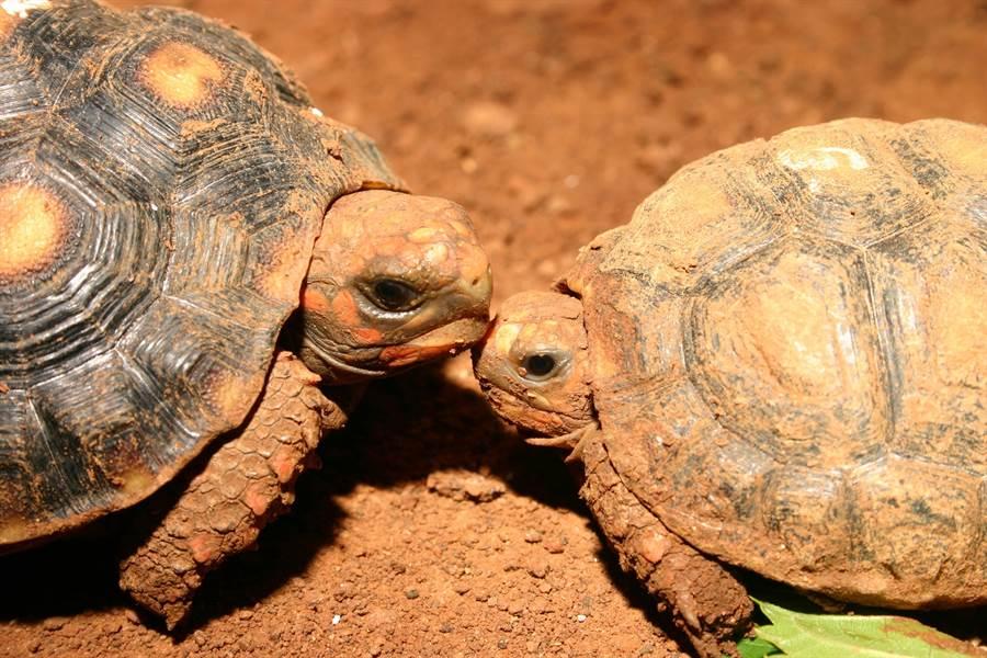 紅腿象龜(鄭陳崇攝)。(台北市立動物園提供)