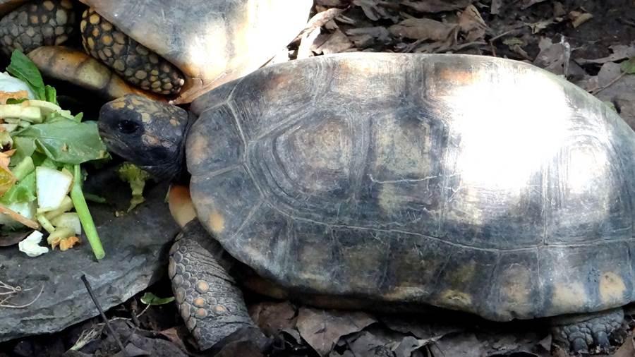 黃腿象龜。(台北市立動物園提供)