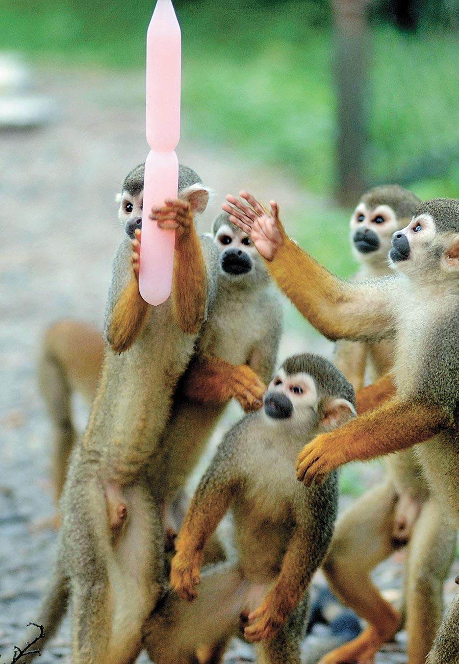 野生動物園裡的一群松鼠猴在爭吃冰棒。(新華社資料照片)