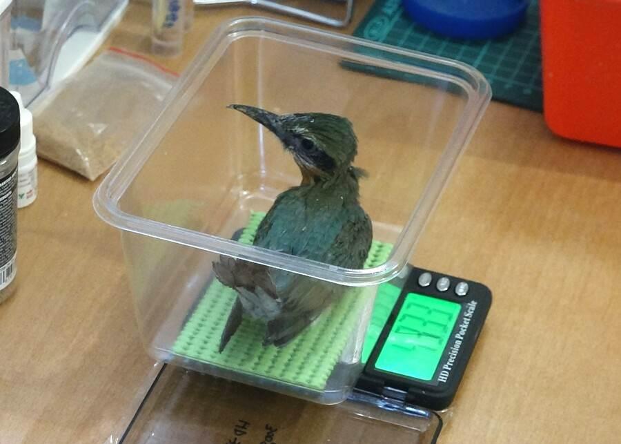 栗喉蜂虎寶寶測量體重。(台北市立動物園提供)