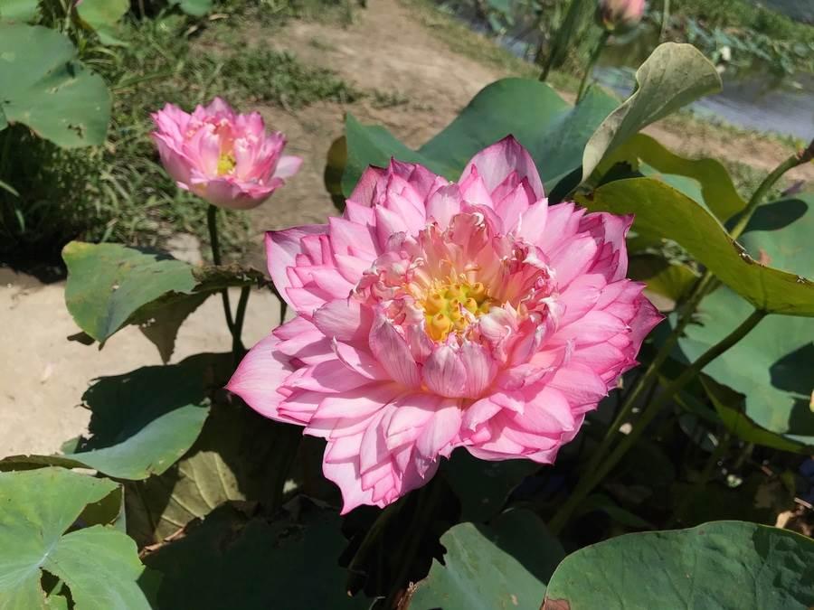 多層次的花瓣為牡丹蓮之特色。(圖取自新北市景觀處官網)