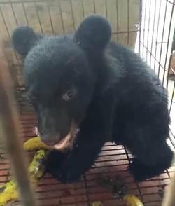 台東香蕉園出現「小黑狗」 竟是台灣黑熊