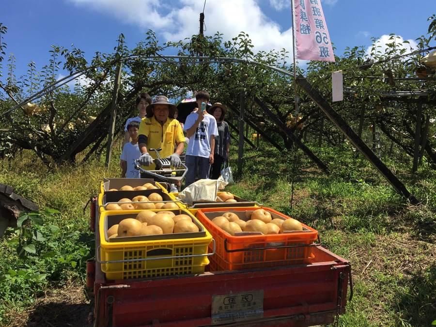 認養梨樹的民眾體驗採梨樂趣,果農使用搬運車,協助載送鮮甜多汁的水梨。(王文吉翻攝)