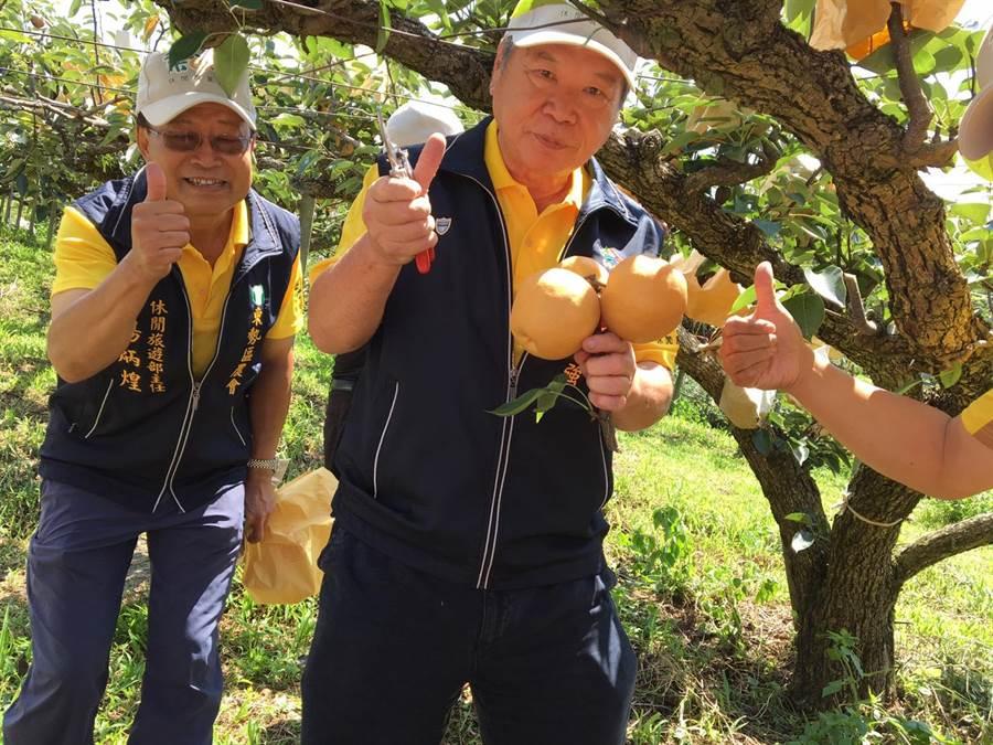台中市農業局長蔡精強(右)體驗採收梨果樂趣,每棵梨樹均結實纍纍。(王文吉翻攝)