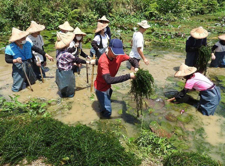 埔里「一日農夫」社區體驗,每位學員都換穿青蛙裝,親自下水,在生態池清除過多的水草,以維護台灣白魚生態。(楊樹煌攝)
