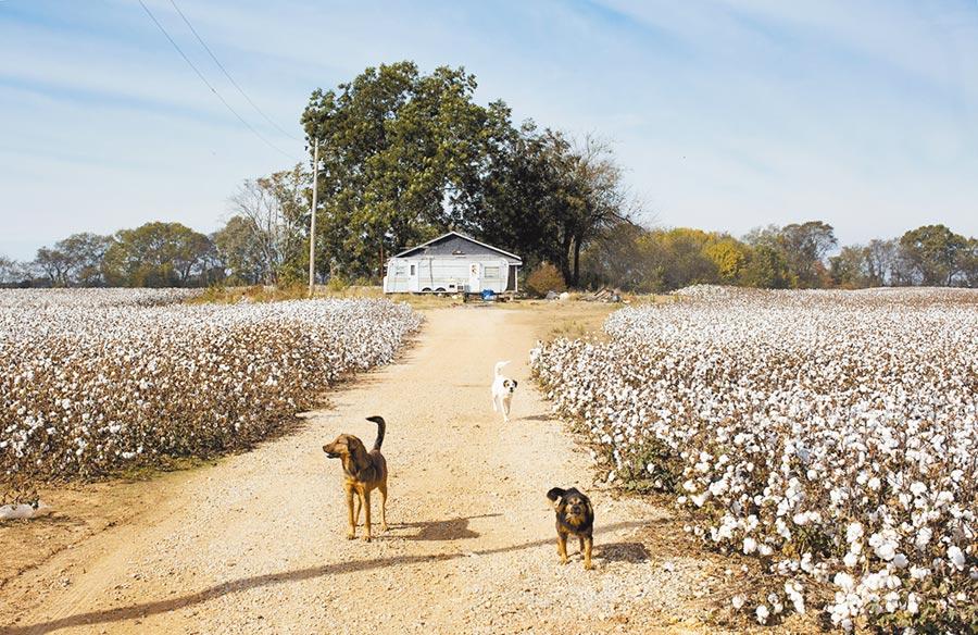美國阿拉巴馬州佛羅倫斯的棉花田。(CFP)