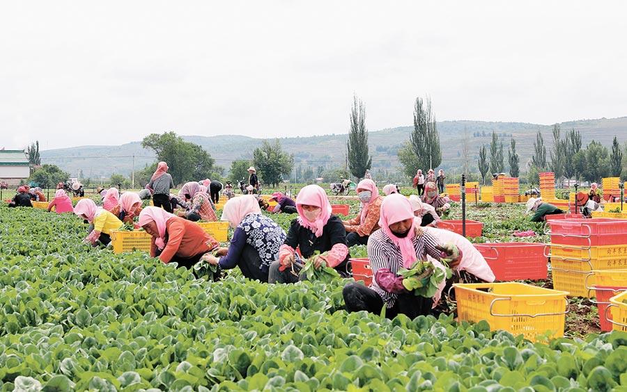 寧夏回族自治區的蔬菜基地,農民採收蔬菜。(中新社資料照片)