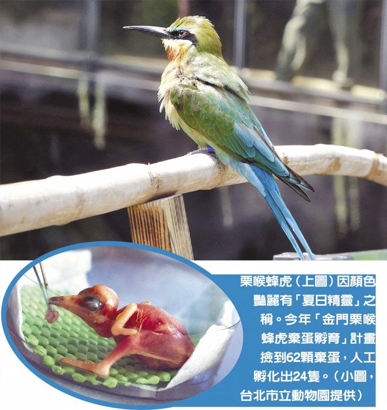栗喉蜂虎(上圖)因顏色豔麗有「夏日精靈」之稱。今年「金門栗喉蜂虎棄蛋孵育」計畫撿到62顆棄蛋,人工孵化出24隻。(小圖,台北市立動物園提供)