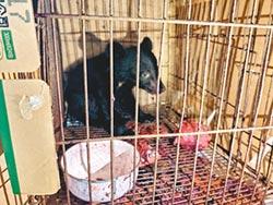 小黑熊找不到媽 誤闖蕉園玩耍