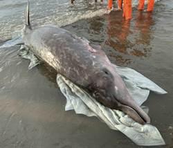 700公斤鯨豚桃園海岸擱淺 眾人救援仍死亡