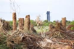 緬甸現巨大枯樹 竟是上億國寶?