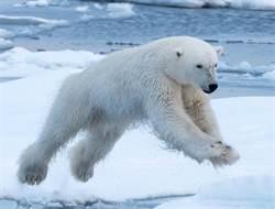 北極熊餓昏獵殺海象 結局超意外!