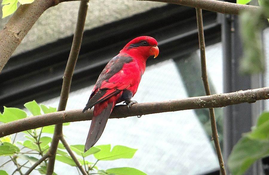 紅藍吸蜜鸚鵡(Eos histrio)被IUCN自然生態保育聯盟紅皮書列為瀕危物種,牠們的野外族群因面臨棲地破壞及獵捕壓力,數量正持續銳減。(台北市立動物園提供)