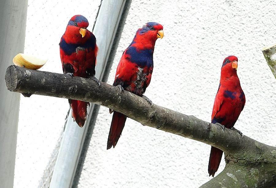 目前台北市立動物園共有八隻紅藍吸蜜鸚鵡,數量竟已是全球動物園人工圈養個體數之冠。(台北市立動物園提供)