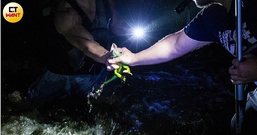專家徒手壓制綠水龍行動,再將其裝入米袋或洗衣袋中。