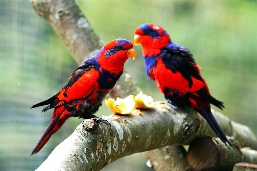 紅藍吸蜜鸚鵡由於棲地被破壞和獵捕壓力,導致數量持續銳減。(北市動物園提供)
