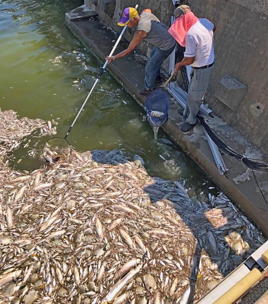 金門金城郊區莒光湖今(29)日傳出魚群集體暴斃事件,惡臭魚屍估計逾2萬隻。(李金生攝)