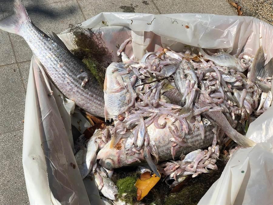 死亡魚隻有烏魚、海鰱、變身鼓、黑鯛與鱸魚等種類。(李金生攝)