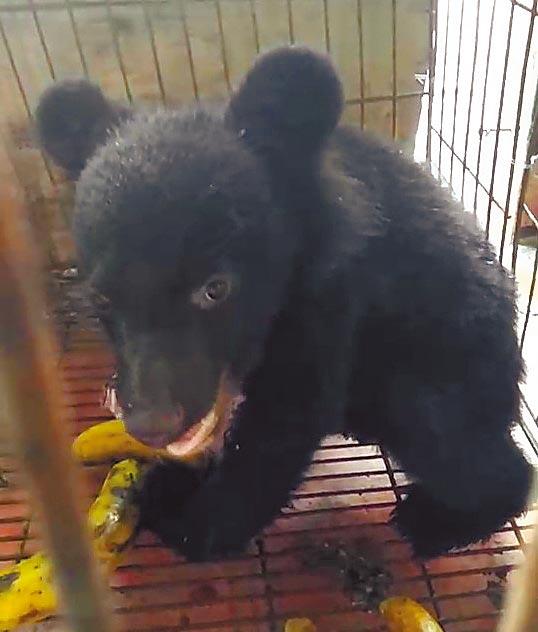 林務局將熊寶寶安置在野外的鐵籠,並在周遭放多罐蜂蜜,盼藉此吸引母熊媽媽將小熊帶回。(楊漢聲翻攝)