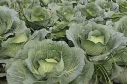 高麗菜種植登記8月上路 農委會:不登記不補助