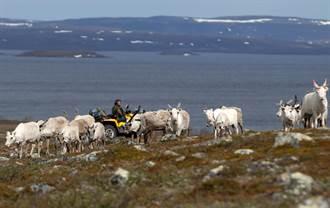 氣候異變受難者 挪威發現兩百多隻餓死的馴鹿