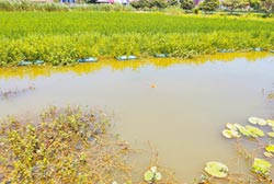 生態養殖當道 促稻蝦鱉共生模式