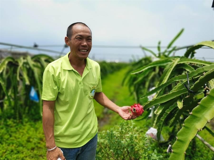 新市青農蔡永順的有機紅龍果獲得今年度「全國紅龍果優質果品評鑑」紅肉組冠軍。(劉秀芬攝)