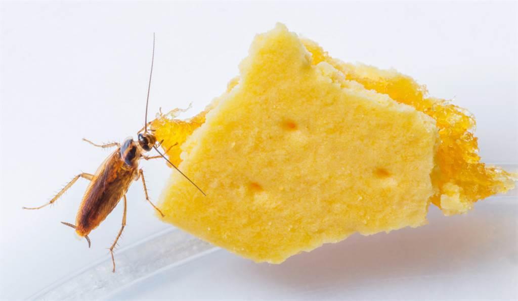 醒来惊觉被蟑螂咬 伤口照曝超吓人(示意图/达志影像)