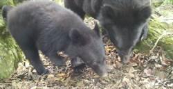 還地於熊!花蓮南安母子熊出沒 林管處呼籲:勿打擾