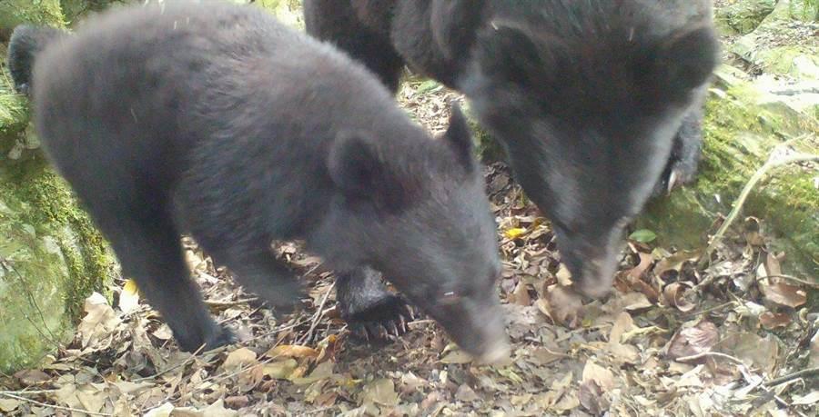 林管處於南安經紅外線照相機捕捉到母熊與小熊蹤影,呼籲民眾切勿打擾自然生態,違者將移送法辦。(林管處提供)