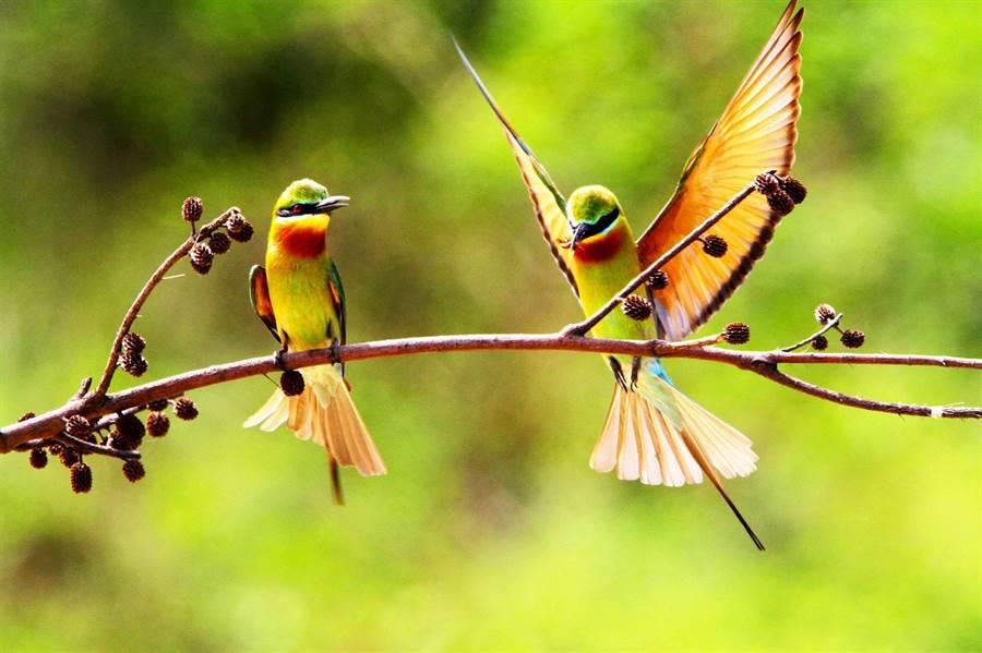 「夏日精靈」栗喉蜂虎是金門最具特色的夏候鳥。(周民雄攝影,金管處提供)
