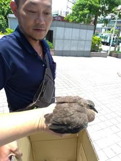 國民黨中央黨部小斑鳩墜巢 動保處緊急救援